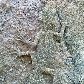 Wall Art by Kamila Romanowska - Instagram & Mobile Other ( lizard, nature, gecko, australia, wildlife, sydney, wall, camouflage )