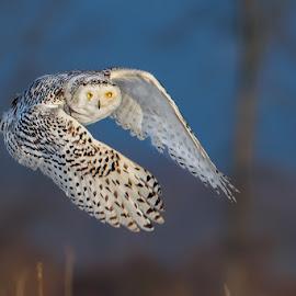 by Tim Harding - Animals Birds ( field, minesing wetlands, winter, canada, barn_owls_typical_owls, simcoe county, wildlife, ontario, snowy owl, birds, in flight, bird, fly, flight )