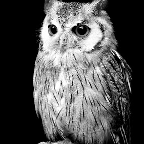 Northern White Faced Owl  by Helen Matten - Black & White Animals ( northern, sitting, faced, white, owl, on, log, black,  )