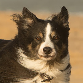 Border Collie by Lynda Snowling - Animals - Dogs Portraits