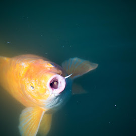 Snack Time by Kendra Susan - Animals Fish ( photograph, nature, fish, nature photography, koi, photo, photography, animal,  )