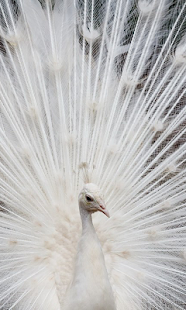 White Peacock Wallpapers - screenshot