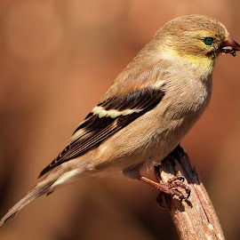 Female American Gold Finch  by Paul Mays - Animals Birds ( bird, nature, finch, birds, kentucky )