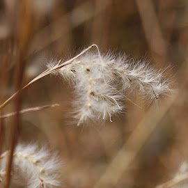 Fuzzy Grass by Rhonda Musgrove - Nature Up Close Leaves & Grasses ( fluffy, grass, fuzzy, weed, white )