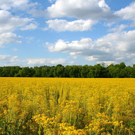 Oceans of Yellow by Lyndsay Spalding - Landscapes Prairies, Meadows & Fields