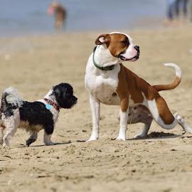 Watch Me Pee by Jose Matutina - Animals - Dogs Playing ( canine, urinating, pee, beach, dog, huntington beach,  )