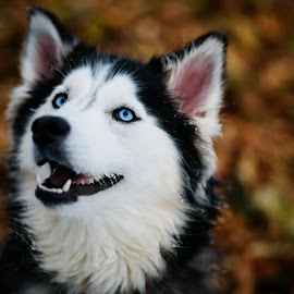 Fluffy Husky by Jeffrey Zoss - Animals - Dogs Portraits ( meesha, fluffy, dogs, husky, dog, cute )