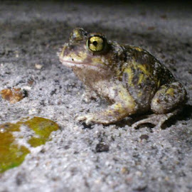 Flashlight photo. Sandy froggy after rain by Heidi Parkermann - Animals Amphibians
