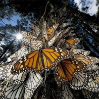 Screenshot of Butterflies Jigsaw Puzzles