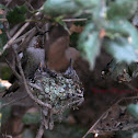 Anna's Hummingbird (Mom and Babies)