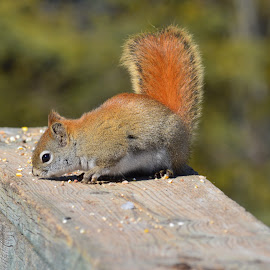 Squirrel by Thomas Latham - Animals Other ( colour, wood, rail, forest, squirrel,  )
