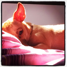 Don't wake me up by Matthew Sprinkle - Animals - Dogs Portraits ( dogs, chihuahua,  )
