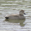 Gadwall Duck (pair)