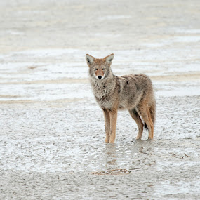 Coyote in mud  by Cody Hoagland - Animals Other Mammals ( coyote )