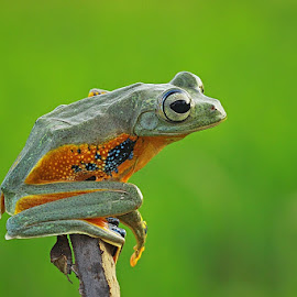 A Flying Frog by Thomp Jerry - Animals Amphibians ( animals, macro, macrophotography, frog, frogs, animal )