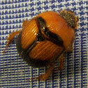 Earth-boring Scarab Beetle