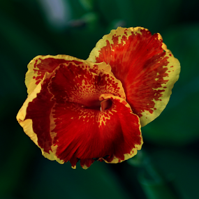 by Alina Jumabhoy - Flowers Single Flower ( macro, red, nature, vibrant, yellow, close up, flower,  )