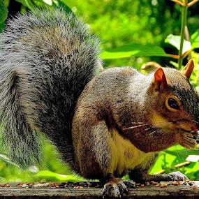 SQUIRREL PORTRAIT by Doug Hilson - Animals Other Mammals ( bushy tail, feeding, close up, squirrel,  )