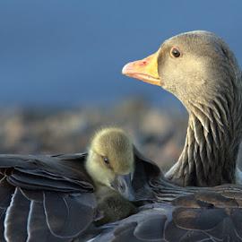 A mother's love. by Elaine McFall - Animals Birds (  )