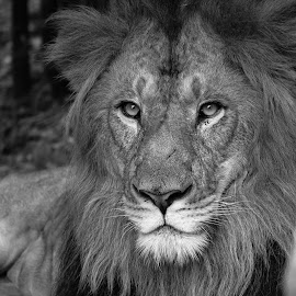 The King by Dhinesh Rajarathinam - Animals Lions, Tigers & Big Cats ( lion, black and white, wildlife, forest, portraits )