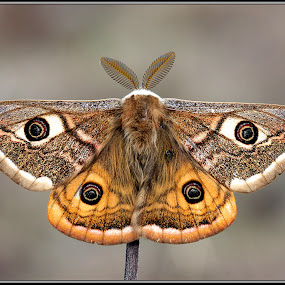 Eudia pavonia by Simon Kovacic - Animals Insects & Spiders ( butterfly, saturnia pavoniella, small emperor, moth, moths )