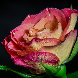 rose with single light by Sanlap Biswas - Flowers Single Flower ( rose, single flower, red n yellow, flower )