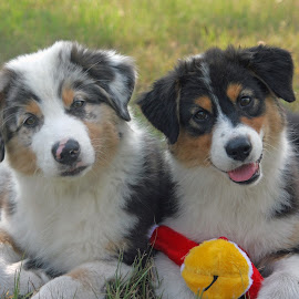 Jazz & Jive by Kristi Muck - Animals - Dogs Puppies