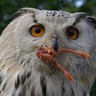Eurasian Eagle Owl/Oehoe