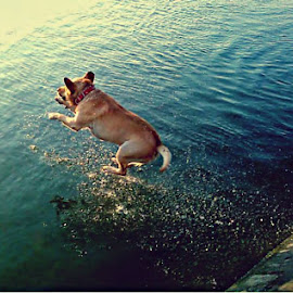 cool jumping dog with bad resolution :) by Katarina Papic - Animals - Dogs Playing ( joy, having fun, dog, sava river, jump, river )