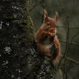 Red Squirrel in a tree by Ann Chapman - Animals Other Mammals ( red, tree, squirrel )
