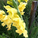 Gladiolus (unknown species)