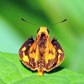 Lesser Dart by Yusop Sulaiman - Animals Insects & Spiders