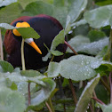 Jacana looking for food