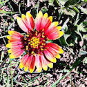 Firewheel or Indian Blanket