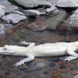 Albino Croc by Donna Probasco - Novices Only Wildlife (  )