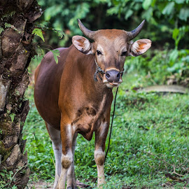 Who's that ? by Syahid Kesuma - Animals Other Mammals ( grass, cow's farmer, cow, feed, animal,  )