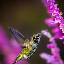 by Ken Wade - Animals Birds ( bird, calypte anna, hummingbird, salvia, anna's hummingbird, birds in flight )