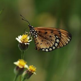 rama-rama by Djamal Sharief - Animals Insects & Spiders ( wildlife )