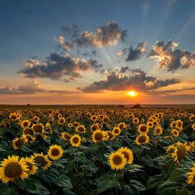 sunflower2_8.jpg