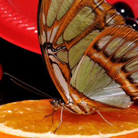 Butterfly Moment by Anna Medina-Skouson - Novices Only Macro ( natural light, butterfly, gathering nectar, nature up close, oranges )