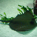 Bluespotted stringray