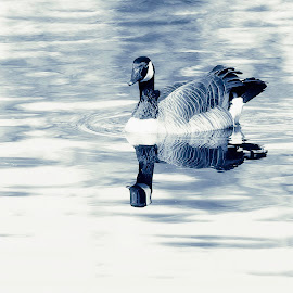 Zen Goose by Lee Jorgensen - Animals Birds ( bird, duotone, animal, goose,  )
