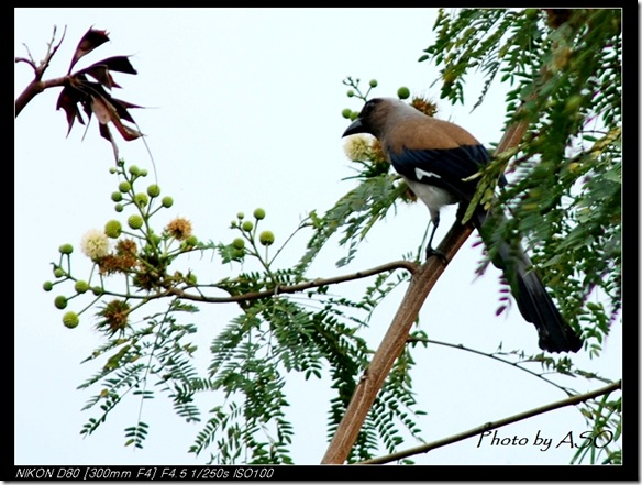 樹鵲(2007-05-07壽豐林場)0280