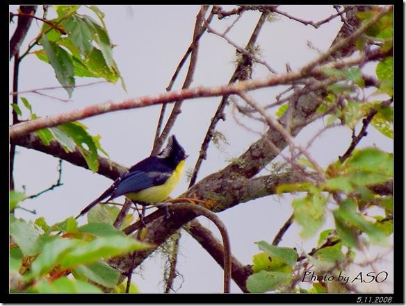 黃山雀(2008-05-11中橫公路)0326