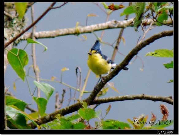 黃山雀(2008-05-11中橫公路)0370