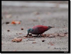 紅鳩(2008-07-21壽豐山邊路)0845