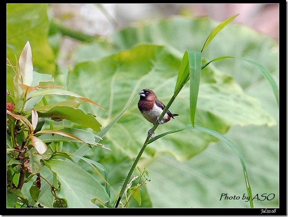 白腰文鳥(2008-07-20鯉魚山產業道路)0777