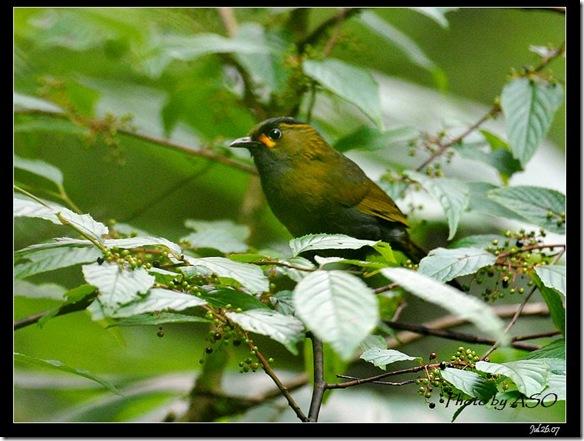 藪鳥(2008-07-26達觀山)0410