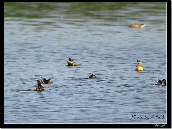 小水鴨皮嘴鴨群(2008-10-22鰲鼓溼地)0655