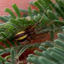 Messy Leaf Curling Spider - male